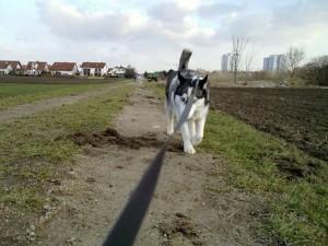 Husky Luke auf Streifzug