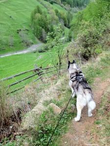 Husky Luke entdeckt die Bimmelziegen
