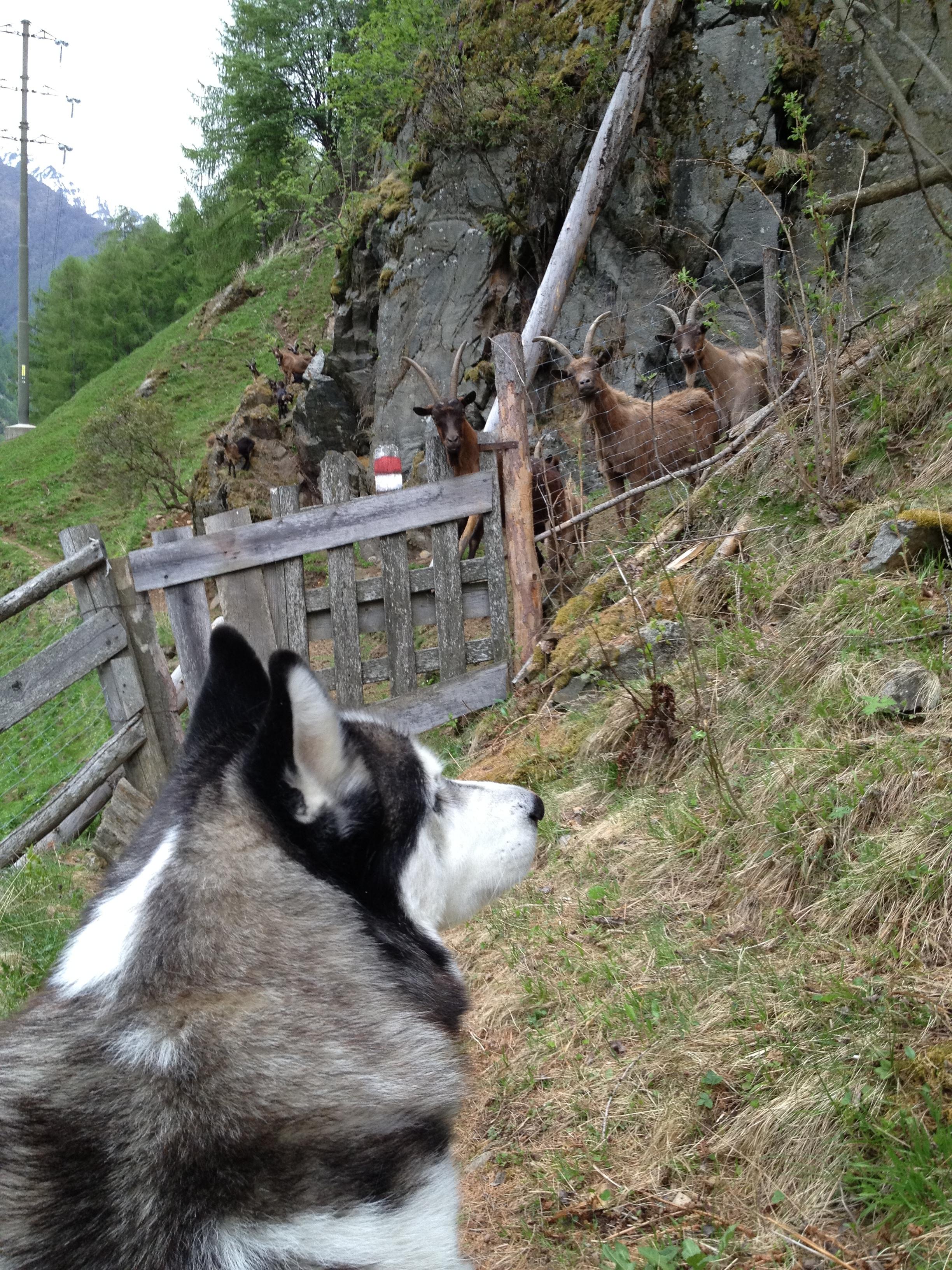 Ziegen die auf Huskys starren