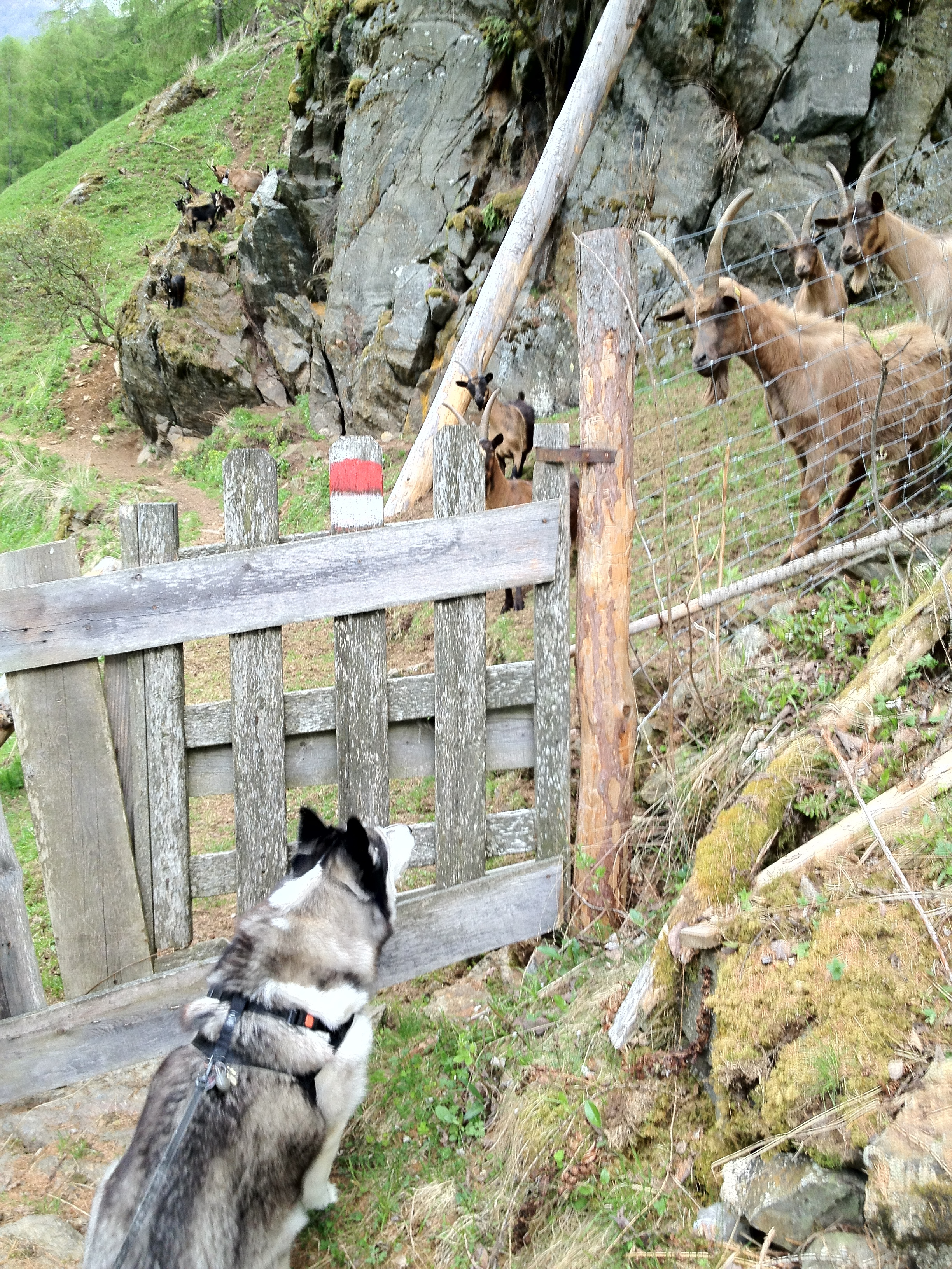 Erste Annäherung des Huskys