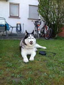 Husky Luke kann auch böse schauen