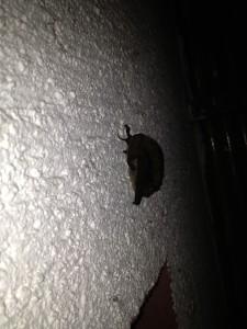 Eine kleine Fledermaus über meiner Eingangstür