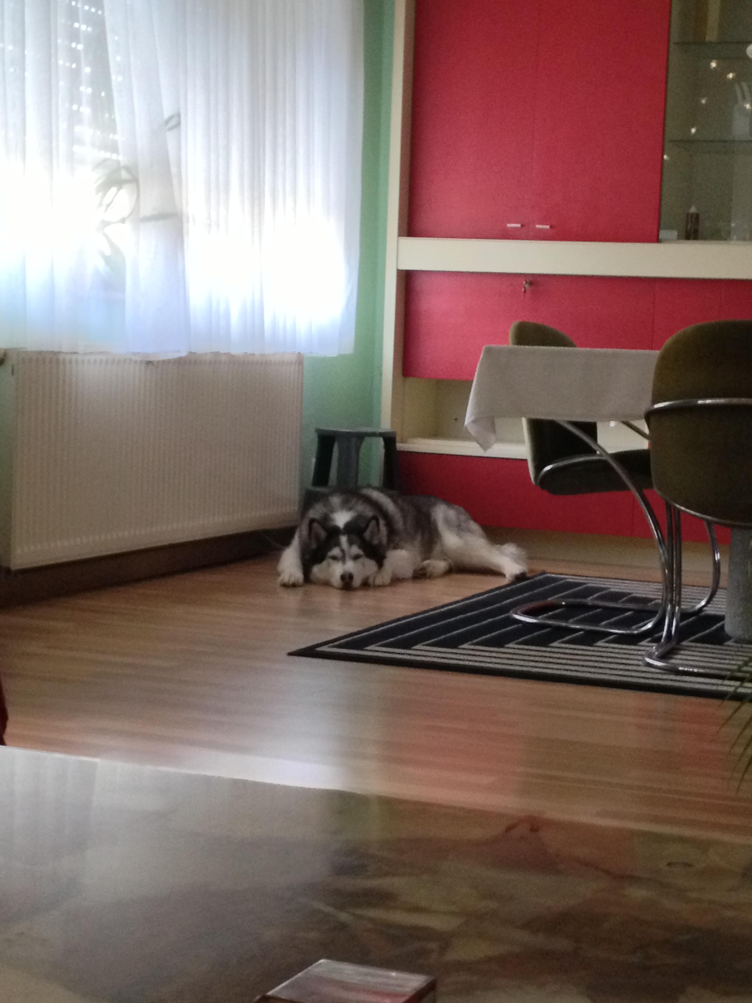 Der kleine Husky Luke ist motzig weil er nicht in sein Körbchen kann