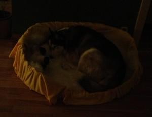 Husky Luke wieder glücklich in seinem Körbchen