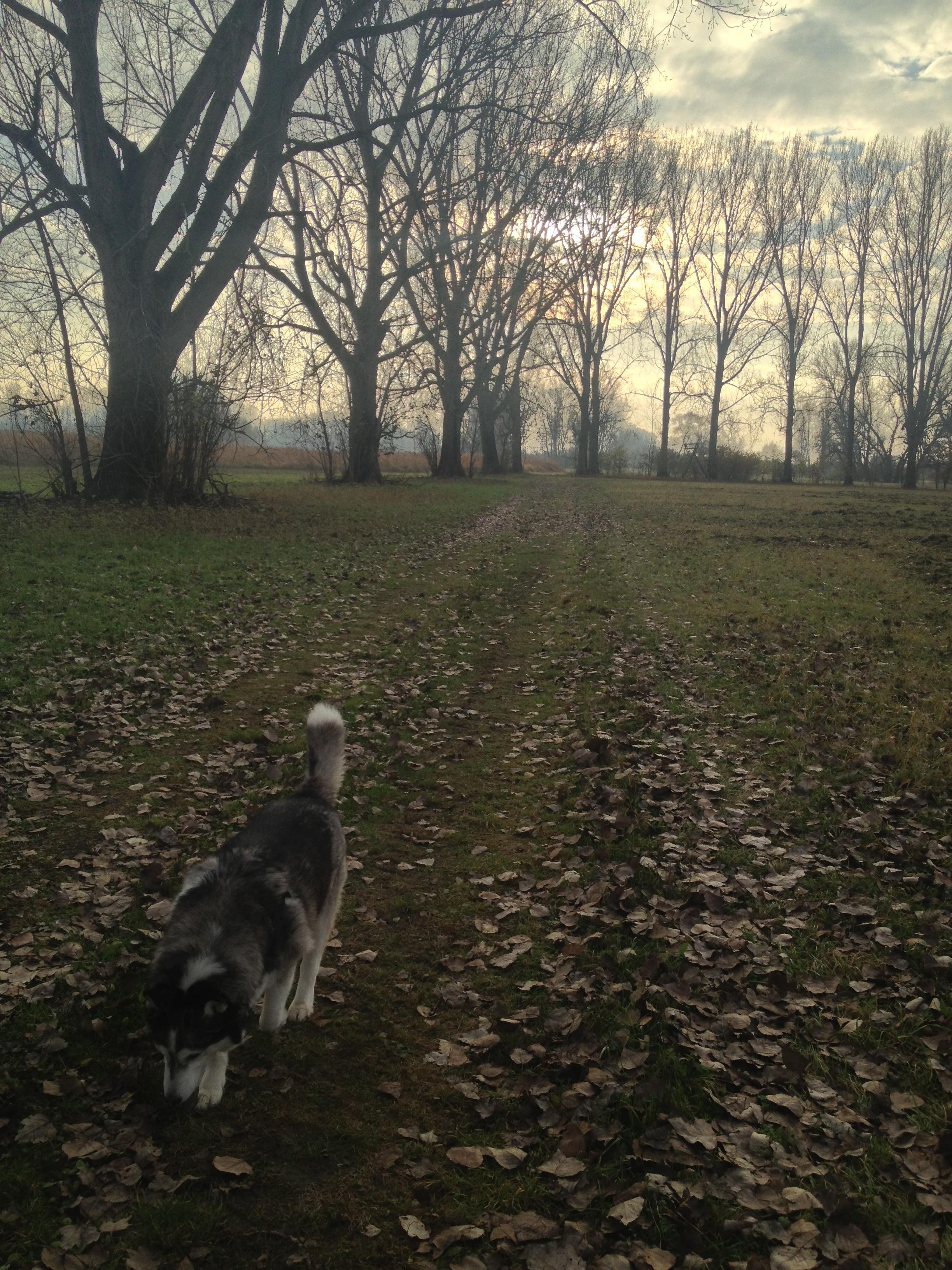 Morgenspaziergang mit Husky Luke