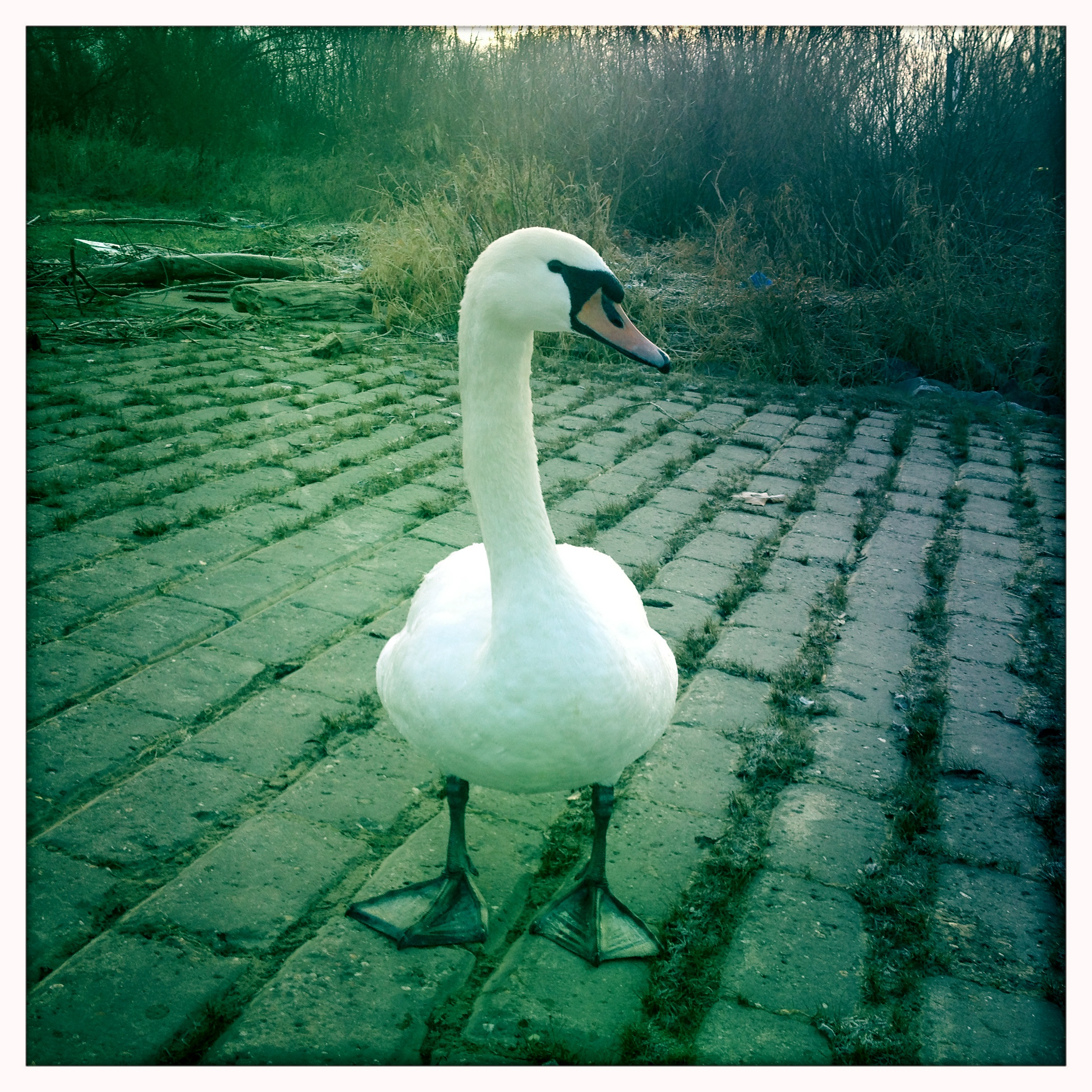 Schwan an der Natostraße in Lampertheim #Hipstamatic #JohnS #Blanko