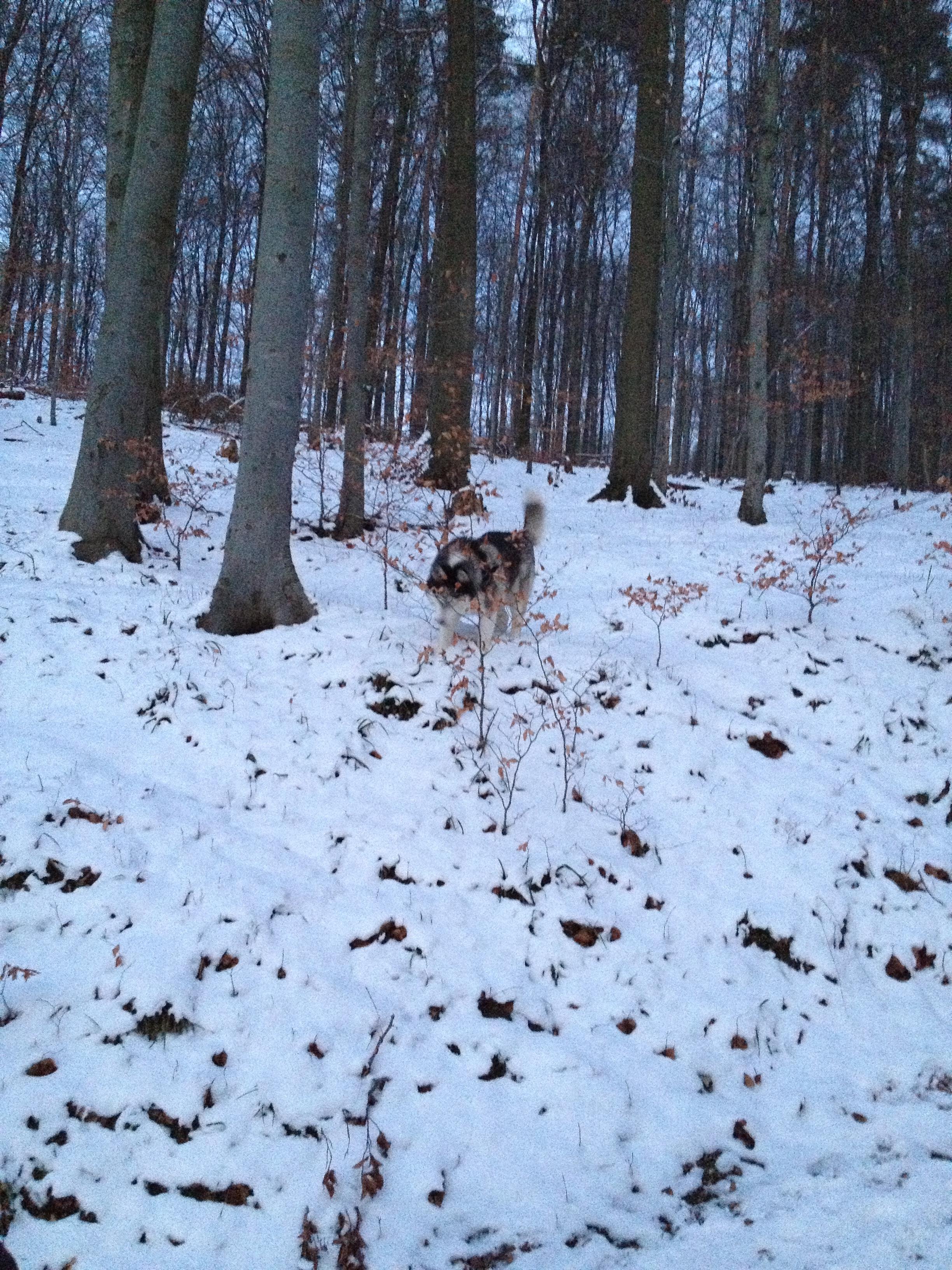 Husky Luke im Schnee