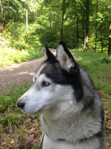 Ein wachsamer Husky Luke beim Waldspaziergang
