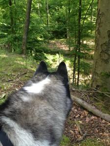 Husky Luke sondiert den Wald