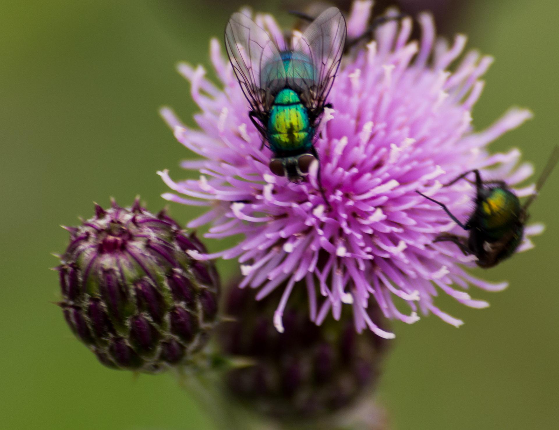 Fliegen die sich auf einer Blume tummeln