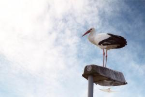 Mitten in der Stadt lauert der Storch