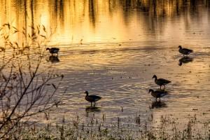 Enten, am Welschen Loch auf dem lampertheimer Biedensand, auf ihrem Abendspaziergang