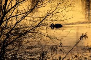 Schwan am Welschen Loch in der Abenddaemmerung